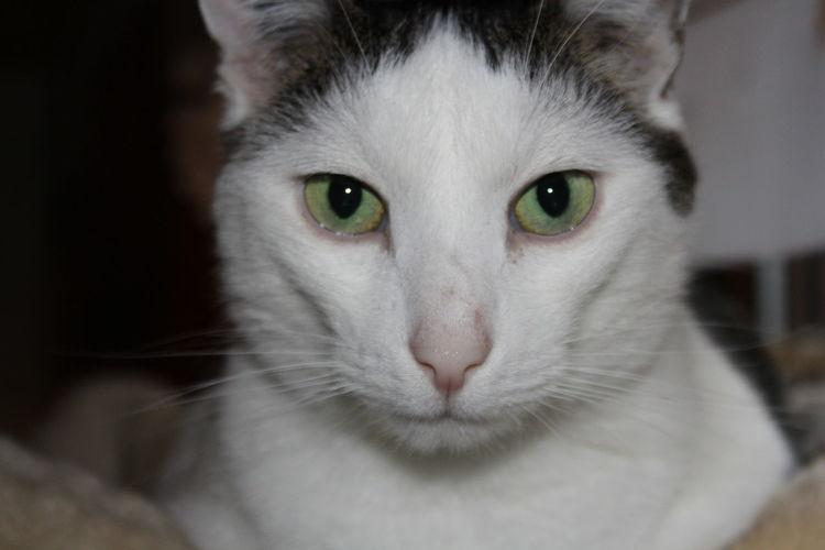 Katze, Sschwarz, Augen, Grün, Weiß, Fotografie