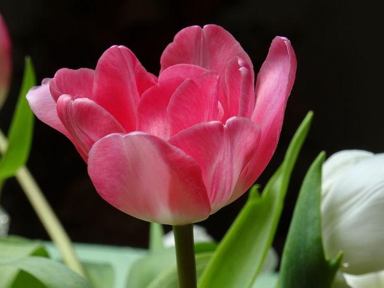 Grün, Stängel, Blumen, Blätter, Tulpen, Zart