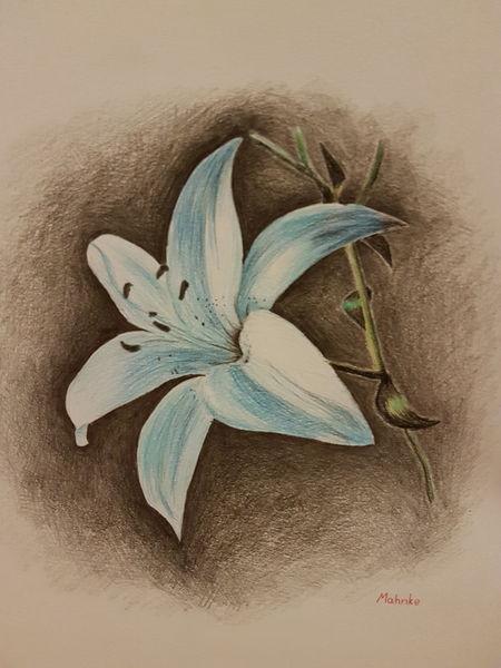 Natur, Pflanzen, Zeichnung, Zeichnungen, Lilie