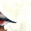 Frühling, Dompfaff, Sing vögel, Gimpel