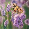 Schmetterling, Lavendel, Tiere, Malerei