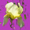 Leuchten, Iris, Zart, Digitale kunst