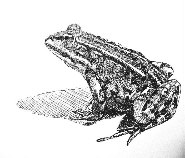Frosch, Wasser, Teich, Zeichnungen