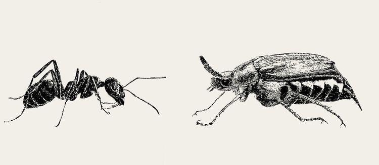 Insekten, Maikäfer, Ameise, Zeichnungen