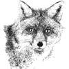 Tiere, Kopf, Fuchs, Zeichnungen