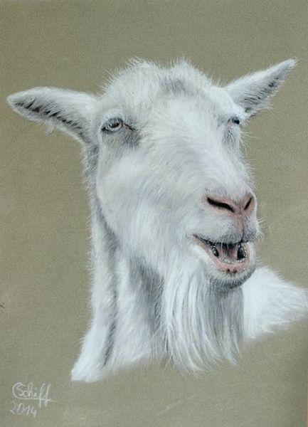 Ziegenbock, Pastellmalerei, Weiß, Tierportrait, Ziegen, Zeichnungen