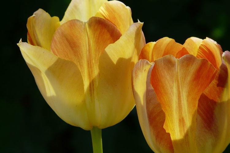 Tulpen, Gelb, Frühling, Fotografie