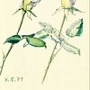 Geringswalde, Weisse rosen, Martha krug, Garten