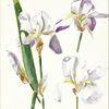 1978 gemalt, Martha krug, Violette schwertlilien, Aquarell