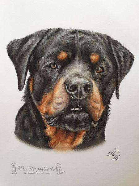 Hund, Rottweiler, Polychromos, Zeichnung, Zeichnungen