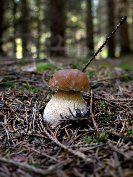 Steinpilz, Sammeln, Wald, Suche, Pilze, Finden