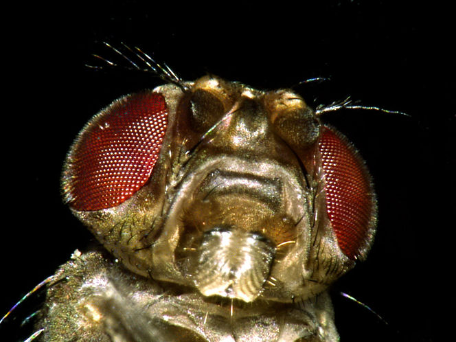 Obst, Lästig, Fruchtfliege, Drosophila, Fliege, Fotografie