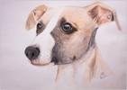 Portrait, Whippet, Hund, Polychromos