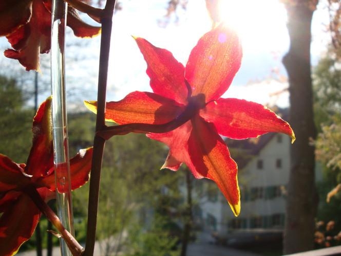 Fotografie, Stillleben, Gegenlicht, Orchidee