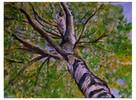 Himmel, Baum, Birken, Malerei
