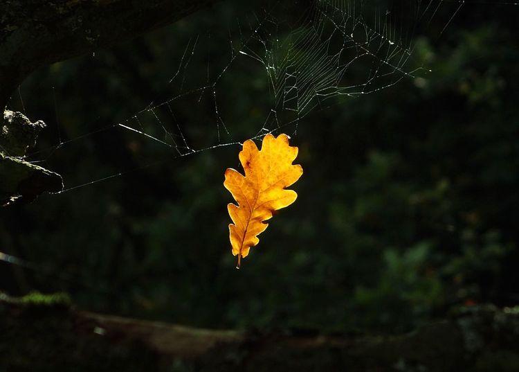 Äste, Gegenlicht, Spinnennetz, Eichenblatt, Baum, Fotografie