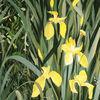 Frühling, Iris, Teich, Gelb