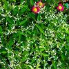 Pink, Grün, Blätter, Pflanzen