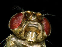 Drosophila, Fliege, Obst, Lästig