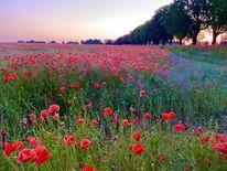 Allee, Abend, Mohnblumen, Sommer