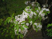 Blüte, Kirsche, Entwicklung, Fotografie
