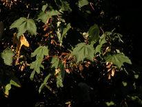 Blätter, Nase, Ahorn, Fotografie