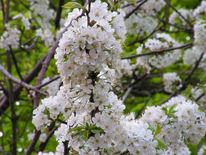 Kirschbaum, Blüte, Fotografie