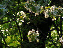 Kirschblüte, Endstadium, Fotografie