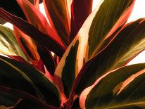 Sanguinea, Stromanthe, Calathea, Fotografie