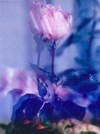 Fotografie, Rosa, Rose