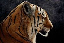 Tiger, Realismus, Traum, Wildlife