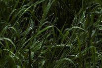 Tau, Tropfen, Gras, Fotografie