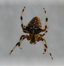 Kreuz, Netz, Spinne, Fotografie