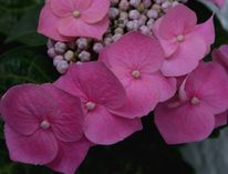 Blumen, Blüte, Natur, Hortensien