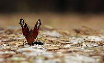 Schmetterling, Pfauenauge, Fotografie, Flügel
