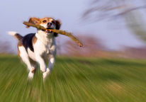 Fotografie, Zoomeffekt, Hund, Beagle