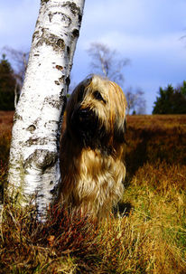 Hund, Blau, Briard, Natur