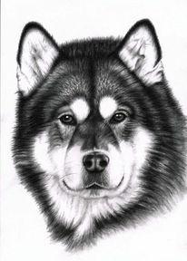 Hund, Schlittenhund, Alaskan, Tiere