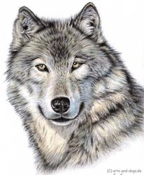 Pelz, Portrait, Wolves, Wild