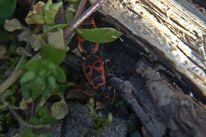 Käfer, Frühling, Spontan, Feuerkäfer