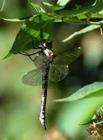 Libelle, Natur, Sommer, Flügel