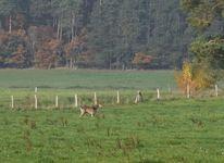 Brandenburg, Jagd, Lichtung, Freiläufer