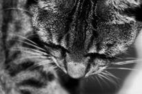 Katze, Grau, Nahaufnahme, Schwarz weiß