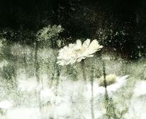 Bellis, Frühling, Textur, Blumen