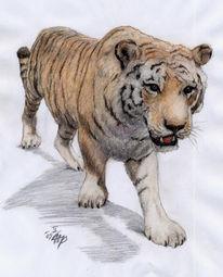 Carnivora, Panthera, Felidae, Tigris