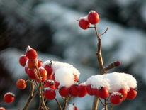 Hagebutte, Fotografie, Schnee, Winter