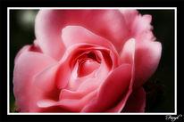Rot, Blumen, Pflanzen, Rose