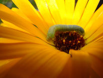 Magarite, Raupe, Blumen, Gelb