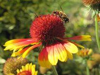 Sommer, Kokardenblume, Blüte, Biene