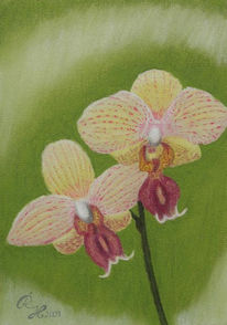 Orchidee, Blumen, Pstell, Zeichnung